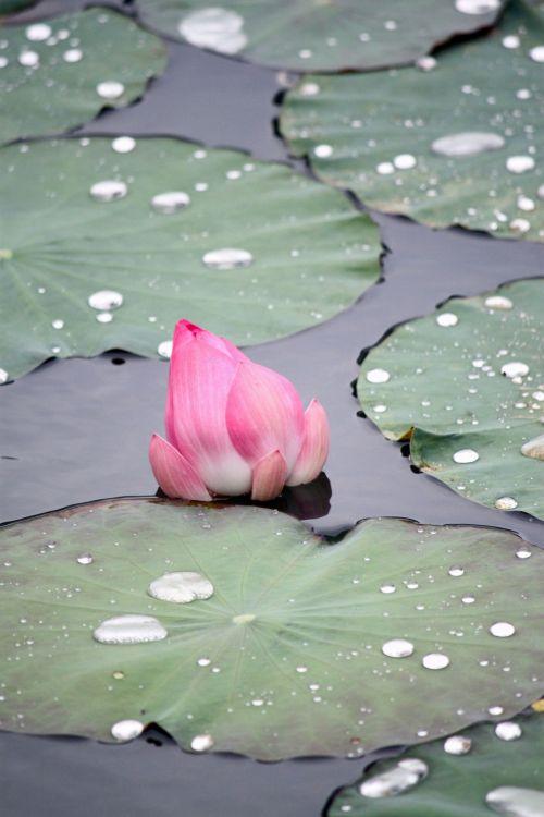 rožinė & nbsp, lotus & nbsp, gėlė & nbsp, išblukusi, žalios spalvos & nbsp, lapai, senas & nbsp, lotus & nbsp, lapas, mirti, lotus & nbsp, budas, žiedas, rausvos lotoso gėlės išbluko