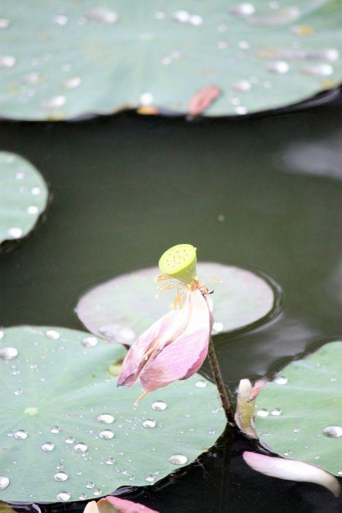 rožinė & nbsp, lotus & nbsp, gėlė & nbsp, išblukusi, žalios spalvos & nbsp, lapai, lotus & nbsp, vaisiai, senas & nbsp, lotus & nbsp, lapas, mirti, rausvos lotoso gėlės išbluko