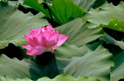 gėlė, gėlės, lotosas, žiedas, rožinis, gamta, vasara, rožinis lotus