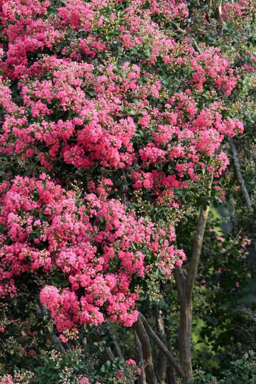 medis, gėlės, rožinis, žydi, klasteriai, pasididžiavimas & nbsp, indija, rožinė Indijos pasididžiavimas