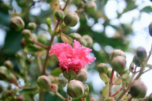 gėlė, rožinis, pumpurai, pasididžiavimas & nbsp, indija, medis, rožinė Indijos gėlių ir pumpurų pasididžiavimas