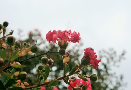 pasididžiavimas & nbsp, indija, gėlė, florets, rožinis, subtilus, rožinė Indijos gėlių pasididžiavimas