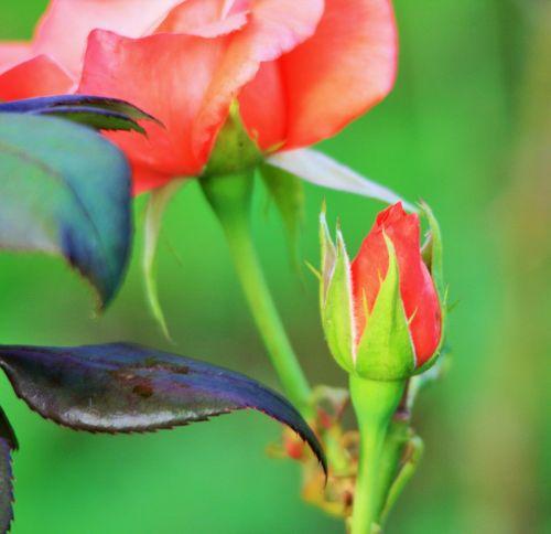 gėlė, žydėti, budas, rožė, rožinis, rožinis rožinis pumpuras ir žydėti