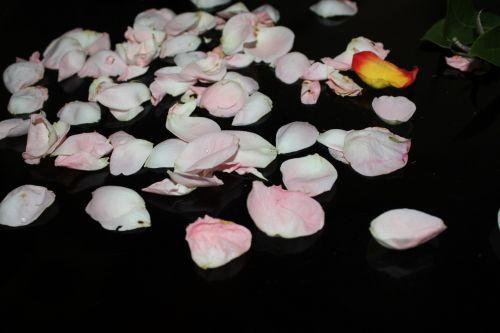 žiedlapiai, rožinės & nbsp, žiedlapių, rožės & nbsp, žiedlapių, gėlė, rožė, fonas, rausvos rožių žiedlapių fonas