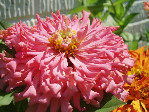 gėlė, zinnia, rožinis, Iš arti, Uždaryti, sodas, plyta, balta, siena, rožinė zinnia uždaryti
