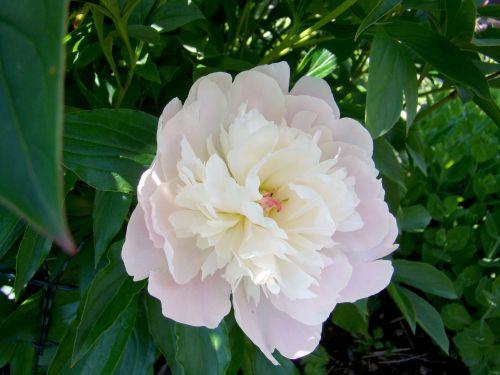 pionas,gėlė,vasara,Švedija,augalas,sodas,balta,pastelinės rožinės spalvos,du tonas,daugiametis