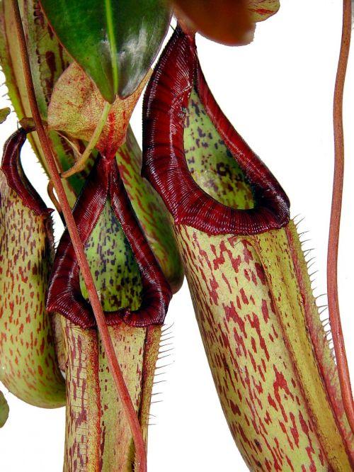 ąsotis augalas,mėsėdis,tropikai,flora,gėlė,mėsėdis