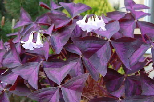 pizdobolis trikampis,dobilas,augalas,violetinė
