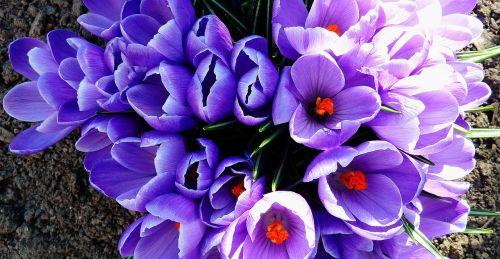 augalas,Balandis,gėlės,ankstyvas bloomer,pavasaris,pavasario gėlės,sodas,sodo siena,sodo planas,sodo planavimas,sodo apdaila,augalai,žalias,Gegužė,wallflower,gamta,parkas