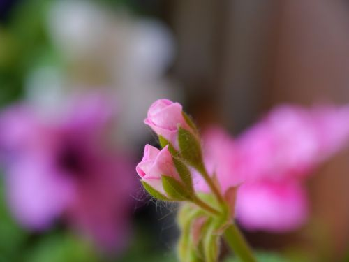 augalas,gėlių pumpurai,flora