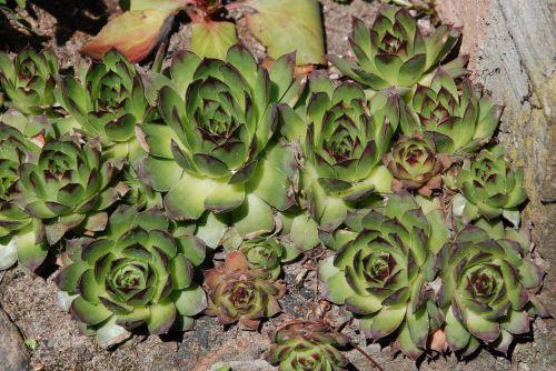 augalas,augalas,gamta,augalas uždaryti,makro,Iš arti,augalas makro,gėlė,žalia augalas,grožis,Rockery,gėlės,augalai,ryškumas