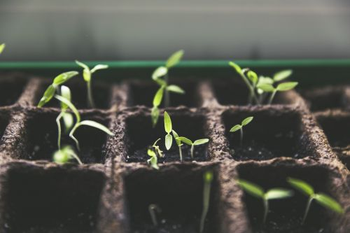augalas,veisimas,pomidorų vaisiai,sodas,Namai ir sodas,derlius,žalias,puodukas kultūra,pomidorų veisimas,baltas,vasara,auginimas,daržovės,savarankiškai maitinimas,miesto sodininkystė