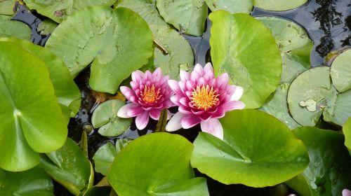 augalas,gėlė,vandens lelija,tvenkinys,gamta,sodo tvenkinys