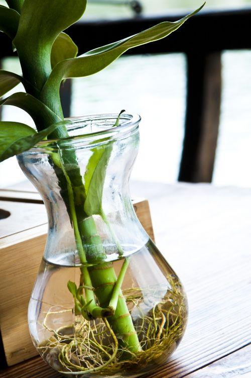 augalas,žalias,žalias lapas,šaknis,vandens butelis,buteliai,shimizu,augimas,stalai,medinis,gyvybingumas,natūralus