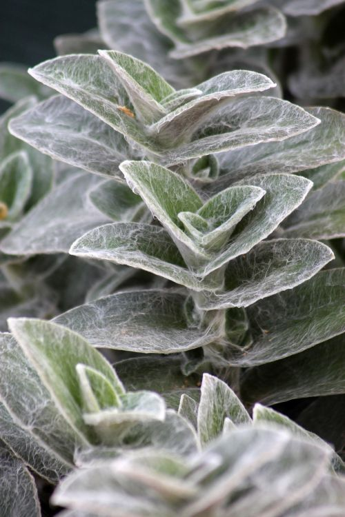 augalas,balošekvény,šilkinis,lapija,žalias,žalias lapas,gamta,sodas