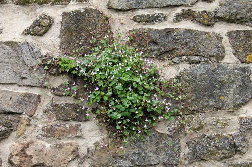 augalas,siena,žiedas,žydėti,dulcimer žolė,mėlynas,violetinė,violetinė,zymbelkraut,sieninė zimbelkrautė,cymbalaria muralis,linaria cymbalaria,plantacinis šiltnamio efektas,plantaginaceae,wallflower,sienų gėlė,hemikryptophyt,Chamaefitas,dekoratyvinis augalas,vaistinis augalas,sienos augalas,įtrūkimai,dekoratyvinis sodo augalas,akmens sodas,pusiau lengvas augalas