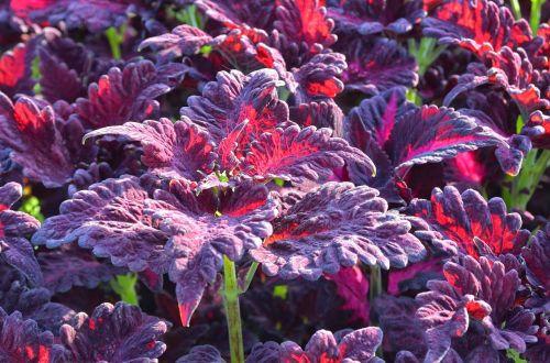 augalas,stipri spalva,lapai,šlovės,flora,šviesus,gaudy,vaivorykštinis