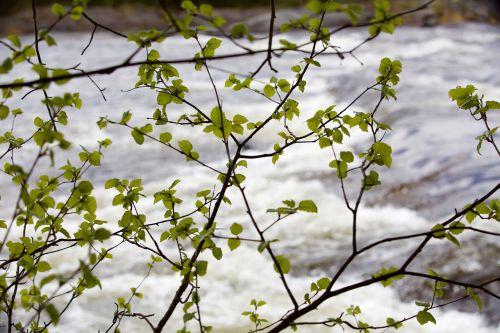 augalas,upė,lapija,Švedija,dabartinis,tvenkinys,pagrįstas