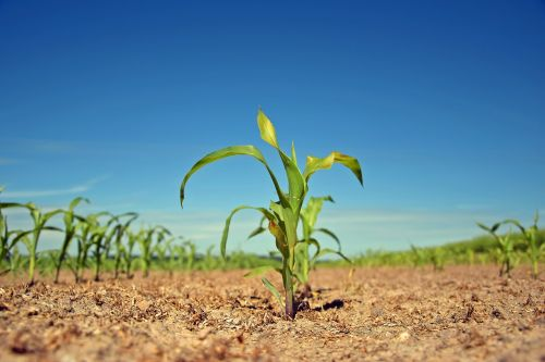 augalas,skonis,laukas,Žemdirbystė,žemės ūkio,gamta,maistas,jaunas,sodinukai,stiebas,gyventi nauji,dygsta,kištukas,variklis,augimas,kraštovaizdis,gyventi