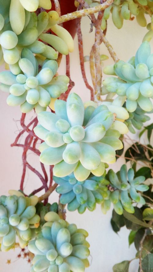 augalas,sultingas,bendrasis aukštas,sultingas augalas,dykumos augalas,fonas,augalas žalia,sultingi gėlės