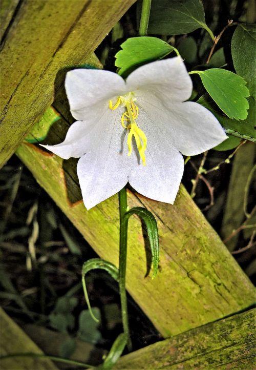 augalas,varpelė,baltas žiedas,geltonos žiedadulkės,wildwachsend,tvora medžio tvora,bemoost