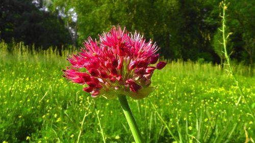 augalas,gėlė,dobilas,rožinis dobilas,trifolium pratense,pavasaris,laukas