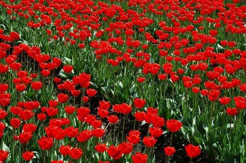 augalų, Sodas, laukas, tulpė, pobūdį, struktūra, tulpių laukai