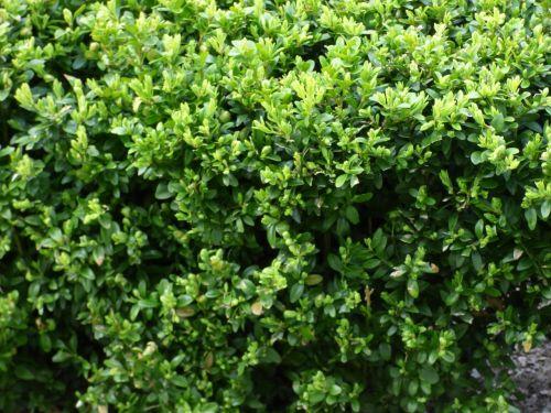 augalas,augmenija,žalias,krūmai,krūmai,šveitimo priemonės,lapija,sodas