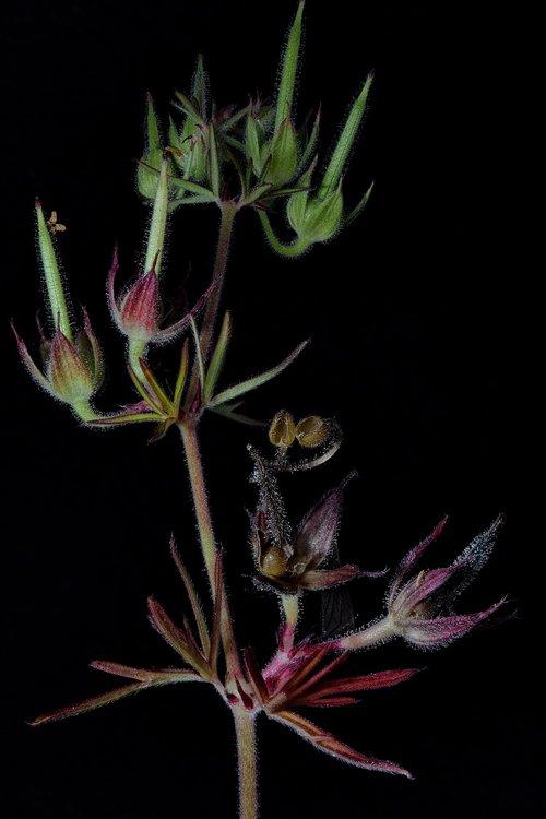 augalų, makro, Iš arti, žiedadulkės, žiedas, žydi, laukinių augalų, makro fotografija, BUD, gėlė, floros, žydi, laukinių gėlių, laukinių šiltnamio efektą sukeliančių