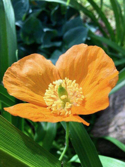 augalų, geltona, gėlė, žalias, lapai, stiebelis, SEPAL, Žiedlapis, stiebas, gerai, švelnus, pavasaris, lauko, Port Moody, BC, Britų Kolumbija, Kanada