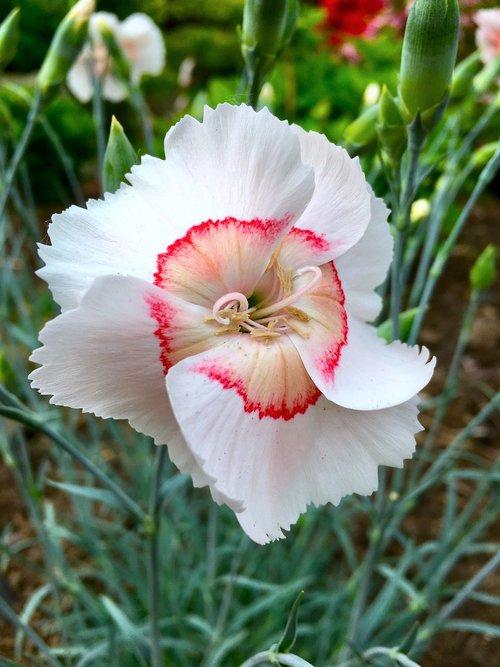 augalų, baltos spalvos, rožinis, raudona, ratas, linija, gėlė, BUD, žalias, lapai, stiebelis, SEPAL, Žiedlapis, stiebas, gerai, švelnus, pavasaris, lauko, Port Moody, BC, Britų Kolumbija, Kanada