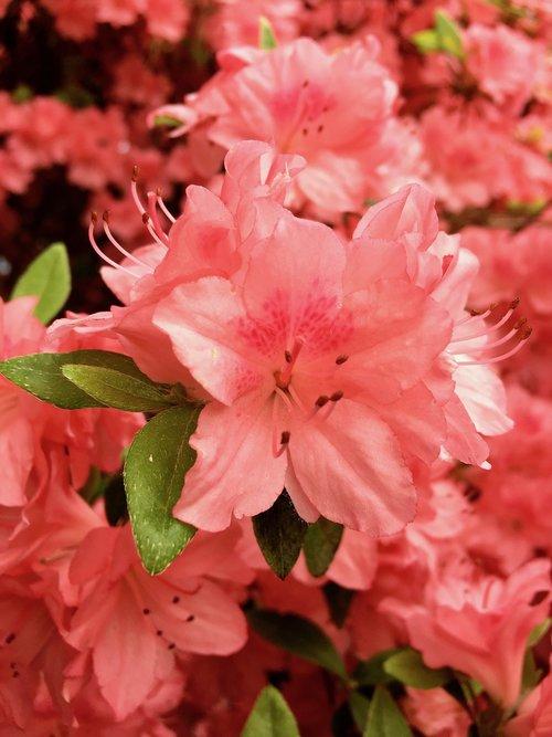 augalų, rožinis, raudona, gėlė, BUD, žalias, lapai, stiebelis, SEPAL, Žiedlapis, stiebas, gerai, švelnus, pavasaris, lauko, Port Moody, BC, Britų Kolumbija, Kanada