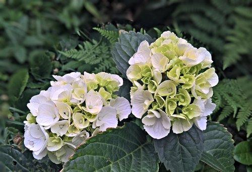 augalų, Hortenzija, dekoratyvinis augalas, krūmas, baltos gėlės, umbels, Sodas, vasara, pobūdį, šviesus, kilnus, gražus