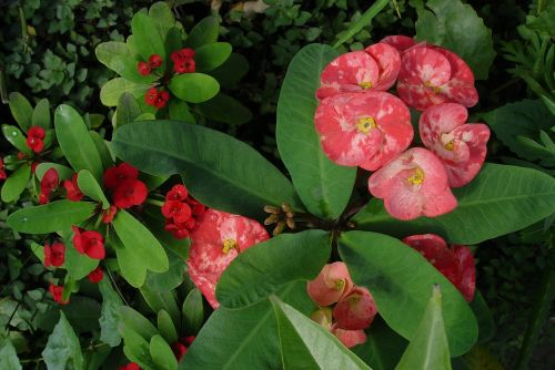 augalas,gėlės,euphorbija