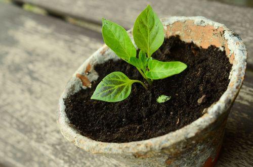 augalas,jauni augalai,mažas augalas,sodinukai,daržovių augalas,žalias,jaunas žalia,sodas,Gelės vazonas,sodininkystė,mediena