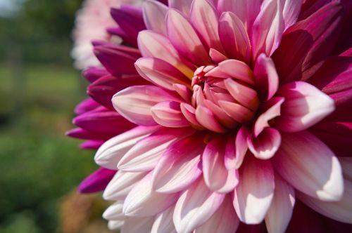 augalas,gėlė,dahlia,gėlių sodas,rožinė dahlia,liepa,vasara