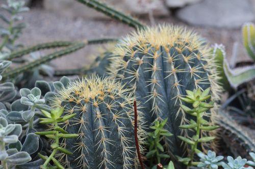 augalas,kaktusas,augalai,šuoliai,gamta,sodas,kambariniai augalai,žalias,botanika,mokslas,adatos,ciepłolubne augalai,dygstantis