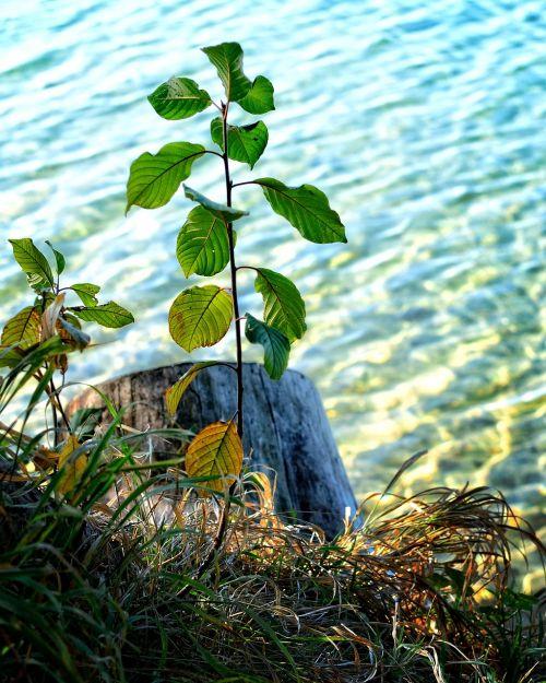 augalas,medis,variklis,jaunas,augimas,gyventi,gamta,miškas,gyventi nauji,augti,gamtos apsauga,dygsta,skonis,aplinka,žalias,frisch