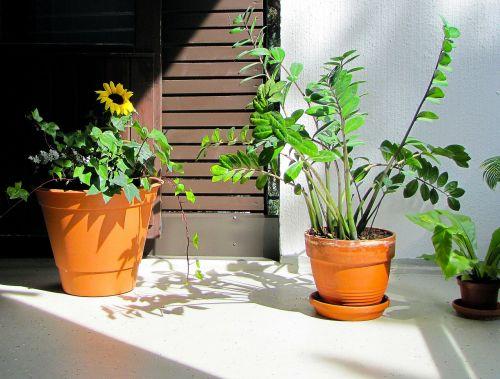 augalai,Balkonų augalai,augalai ant balkono,balkonas,saulėgrąžos,palmuvehka,zamioculcas,vasara,atsipalaiduoti