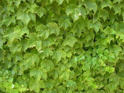 augalai,tekstūra,lapija,žalias,gamta,fonas,flora,dekoratyvinė žolė,žolė,ekrano užsklanda,aukšta žolė,miško paklotė,sodas,žolelės,lapai