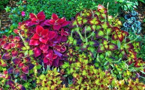 augalai,sodai,lapai,sodininkystė,spalvinga,dizainai,modeliai,mažas,veislės,auga,kiemas,lapija,dekoratyvinis,flora