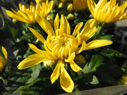 augalai,gėlės,chrizantemos,geltonos chrizantemos,Iš arti,geltona,saulės spalva,Velykos,Velykų spalva,laiminga spalva,gražus,žalias,vaistažolių rinka