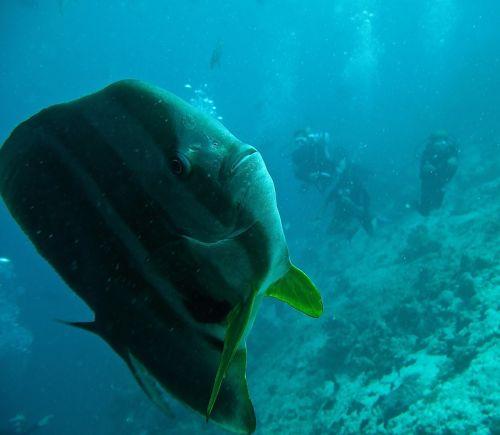 Platax žuvis,batfish,panardinimas,sub,Maldyvai