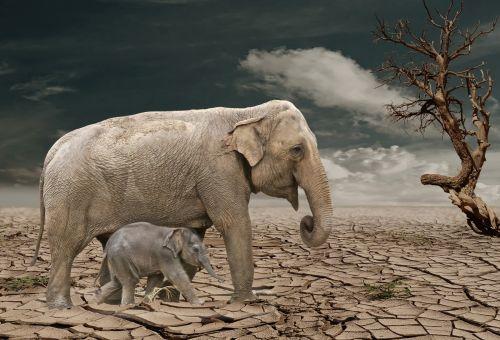 dramblys, drambliai, motina, kūdikis, Padėtis, miręs, mirtis, mirti, planeta, krekingo, džiovintas, žemė, vaikščioti, medis, miręs & nbsp, medis, mirtis & nbsp, slėnis, miręs & nbsp, planeta, miręs & nbsp, pasaulis, Laisvas, viešasis & nbsp, domenas, dramblys