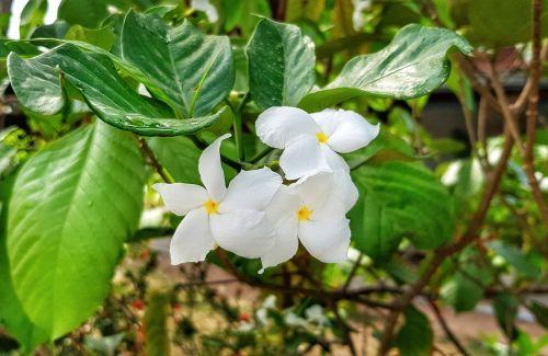 plumeria,pudica,balta,geltonas centras,medis,šveitimas,gamta,lapai,flora,gėlė,sodas,žydi,žiedlapis,Iš arti,filialas,šviežumas,spalva,gražus