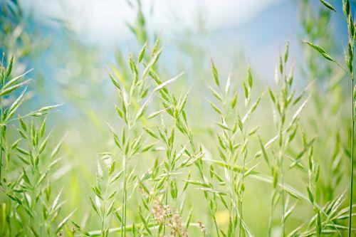 smailas-etiopija,saldymedis,ausis,pašarinės žolės,festuca pratensis,žolė,pieva,pievos žolė,fonas,žalias,Halme,viršutinė žolė,ganykla,ganyklos,smailas ešeras,aitvaras,gamta,augalas,flora,žolės žolės,sodas,laukiniai grūdai,laukinės žolės,žolės,Uždaryti,makro