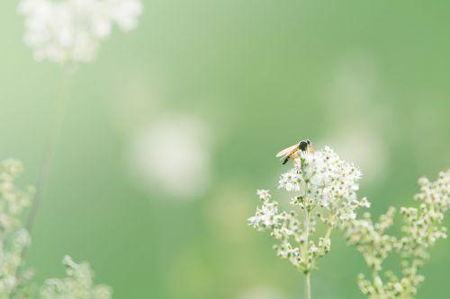 laukinė gėlė,fonas,gėlė,Uždaryti,žalias,gamta,lauko gėlė,aštraus gėlė,vabzdys,flora,fono gėlė,pastelė,augalas,žydėti,laukinis augalas,atgal šviesa