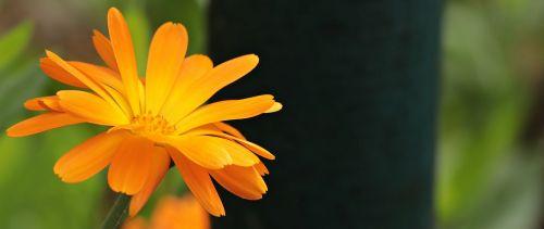 aštraus gėlė,oranžinė gėlė,gamta,oranžinė,žiedas,žydėti,vasara,Uždaryti,gėlė,laukinė gėlė
