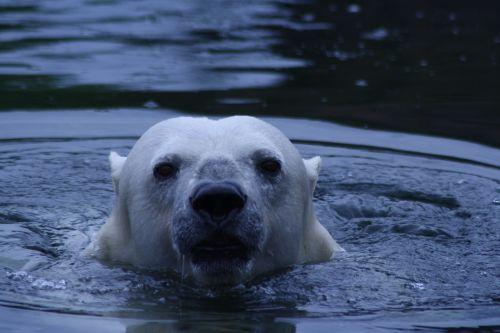 Baltoji meška,turėti,vanduo,zoologijos sodas,gyvūnas,plėšrūnas,balta,zoologijos sodas gyvūnas,baltas lokys