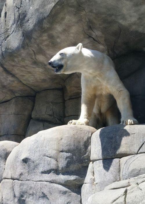 Baltoji meška,zoologijos sodas,hamburgas,Rokas,gyvūnas,turėti,plėšrūnas,kailis,zoologijos sodas gyvūnas,žinduolis